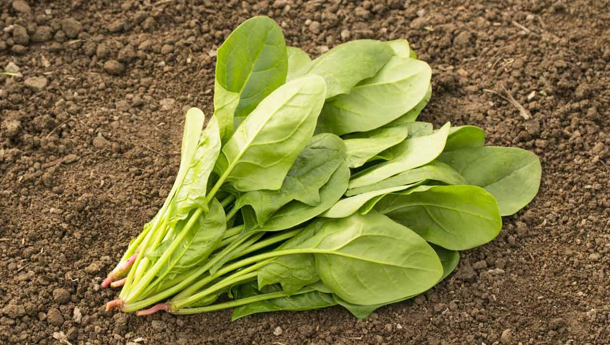 ビタミンCとβ-カロテンでシミの発生を抑える「ホウレンソウ」