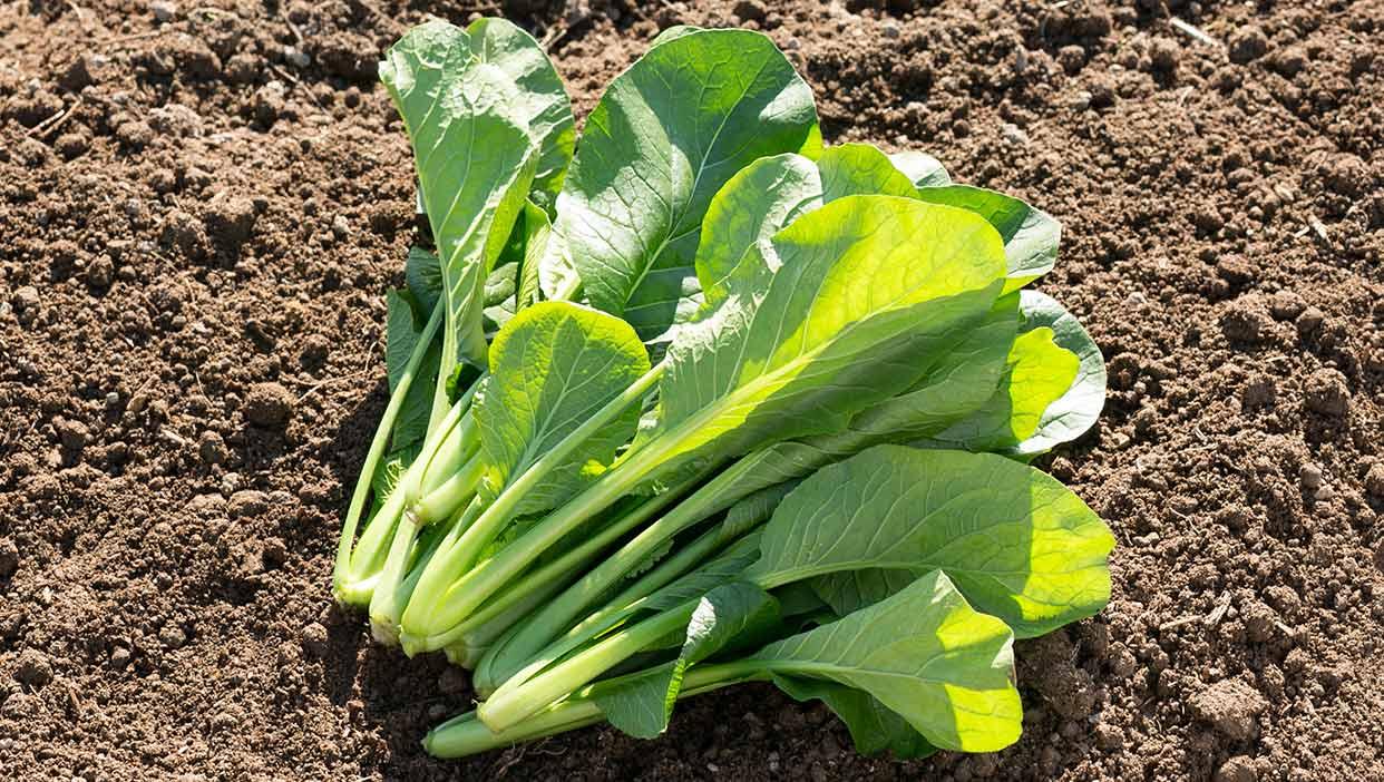 メグミさんのシャキシャキ食感でうまみの強い「小松菜と旬の野菜セット」