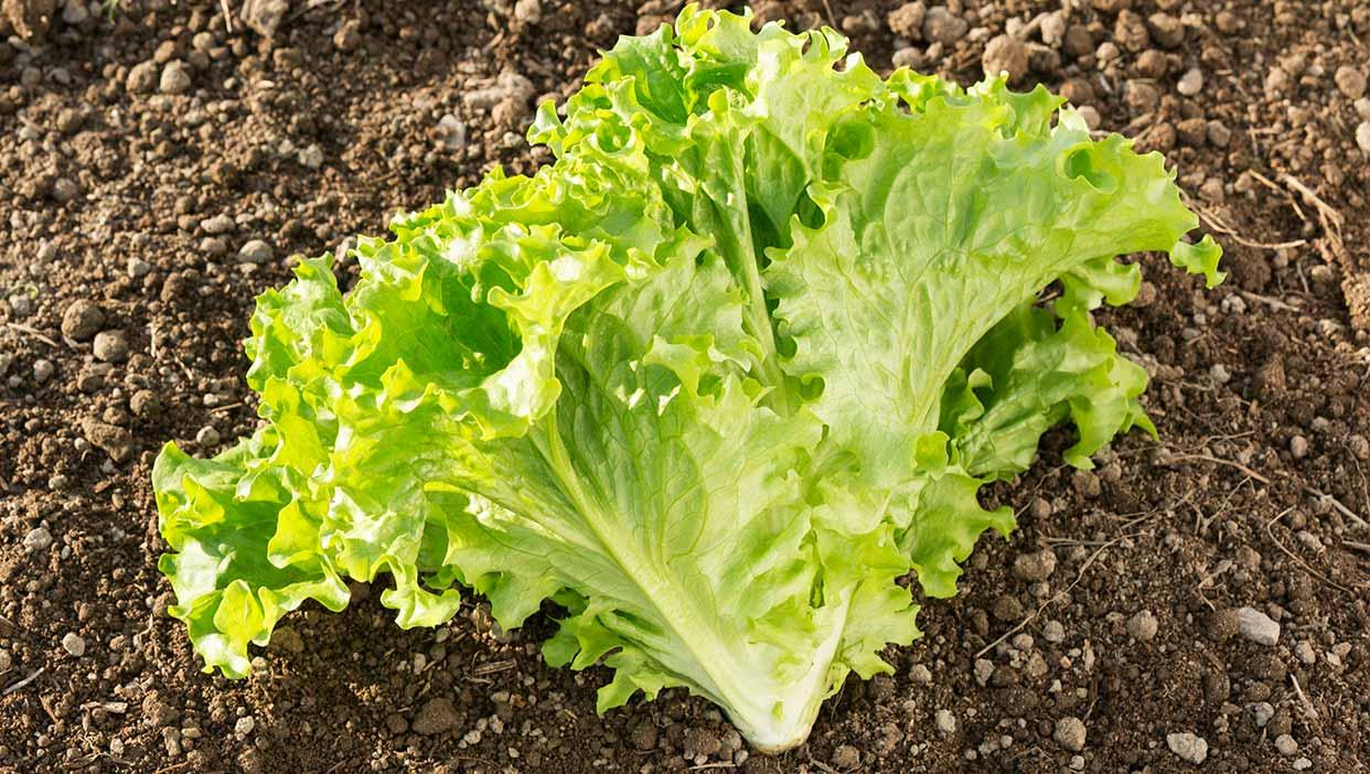 笑顔がたまらない矢野さんの「グリーンリーフと旬の野菜セット」