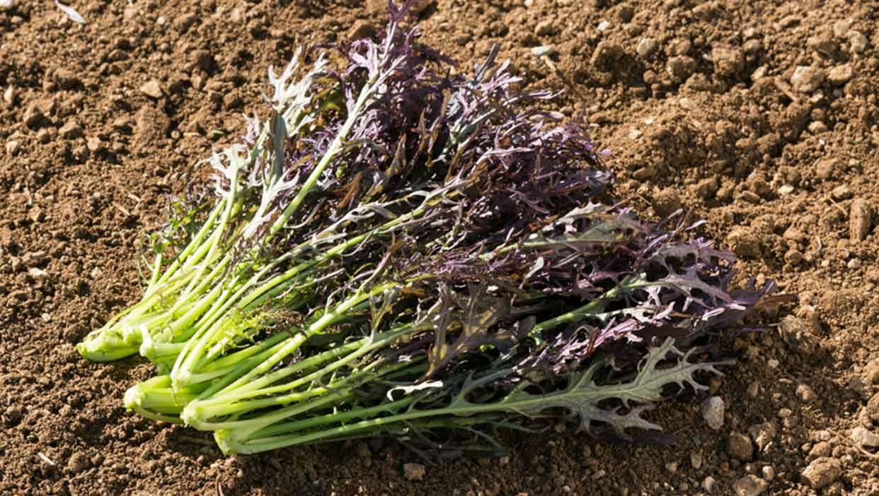 波多野 祐一さんの有機紫からし菜