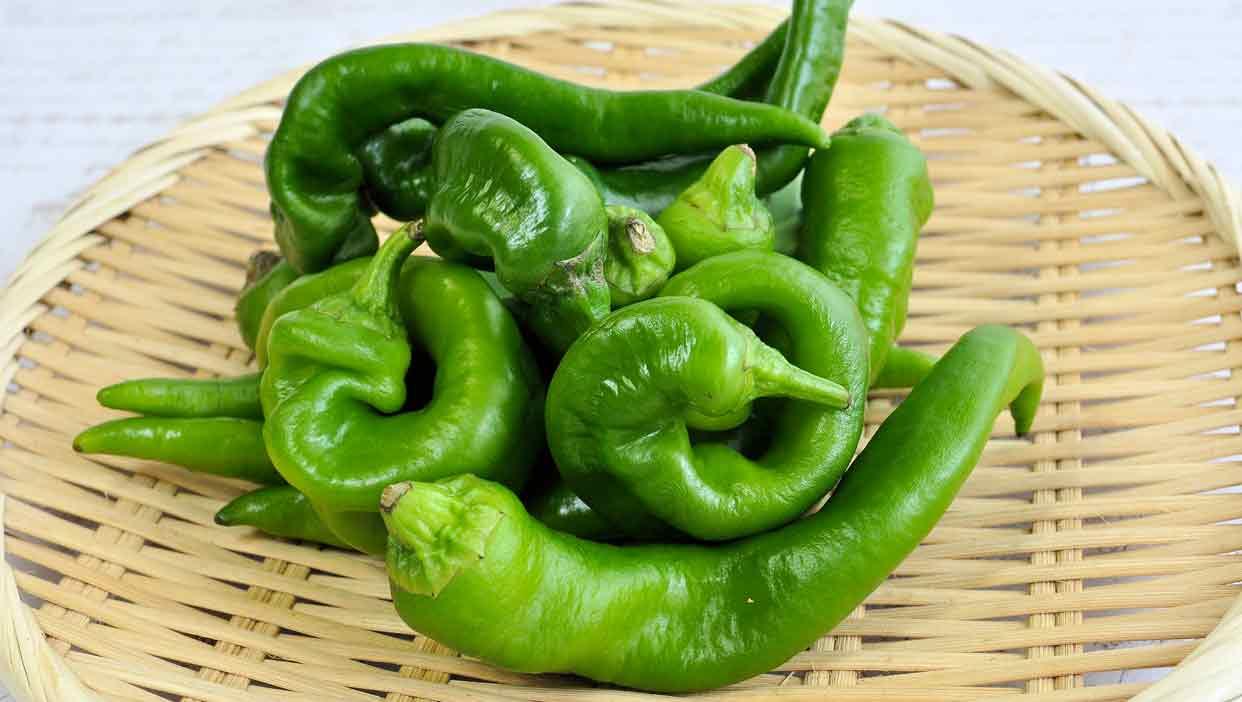 成長の早い夏野菜、肉厚な「万願寺とうがらし」
