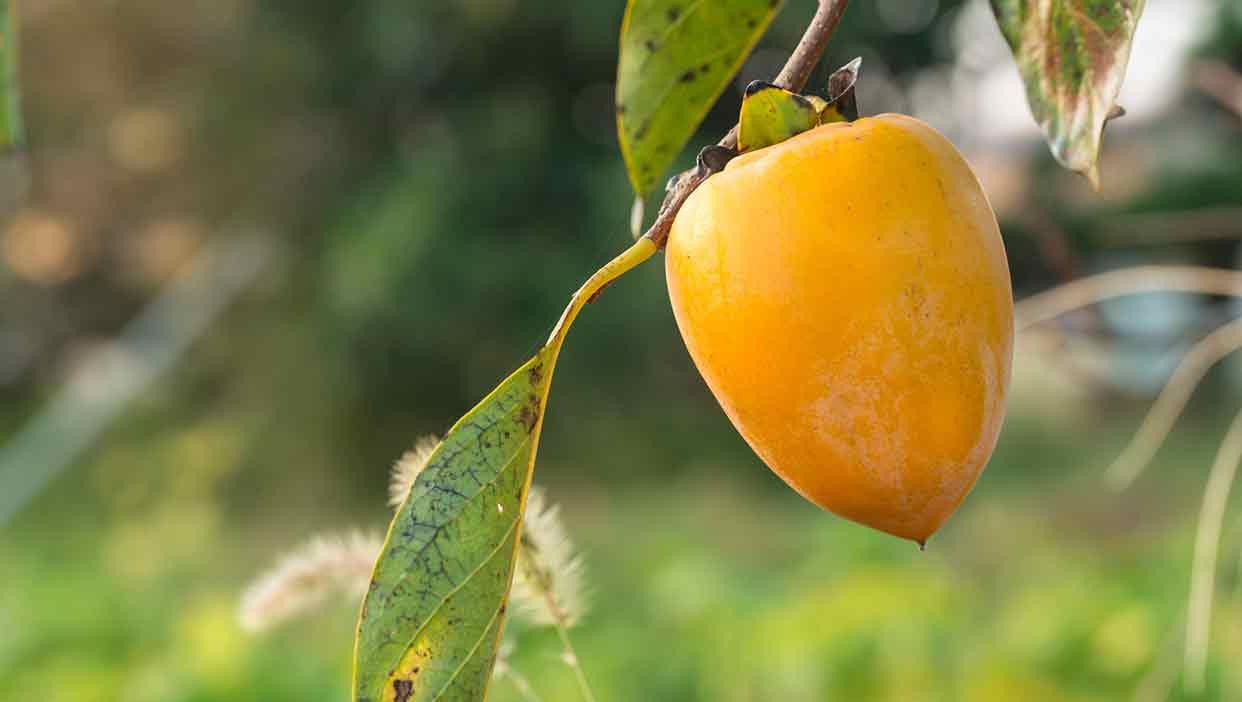 自宅で干し柿づくりが楽しめる「愛宕柿」