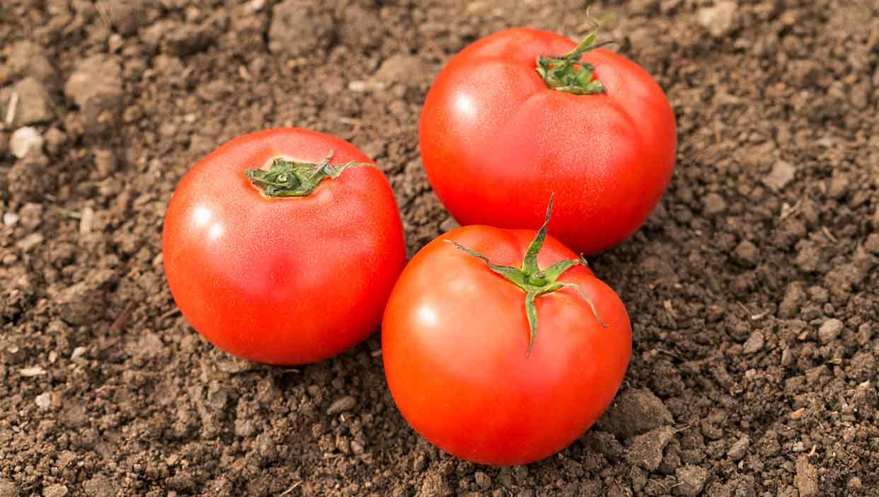 杉本さんの有機トマト