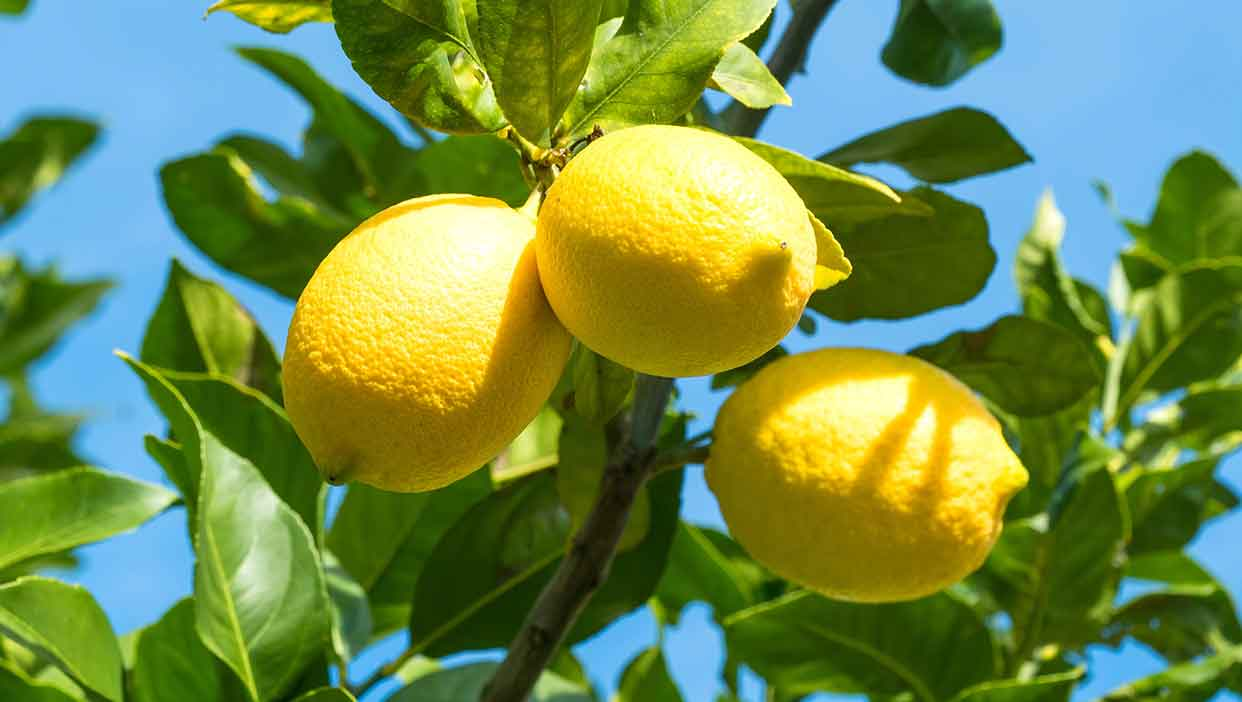 大亀さんが名水100選でつくる「レモン」